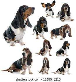 basset hound dog in front of white background