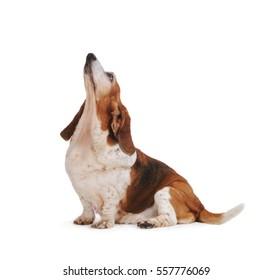 Basset Hound Dog look up, Isolated on white background.