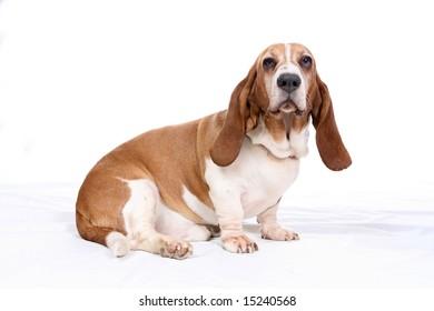 basset hound dog on high key background