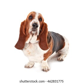 Basset hound dog on white background