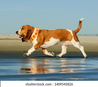 Basset Hound dog running on wet sand beach