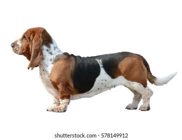 Basset Hound dog standing isolated
