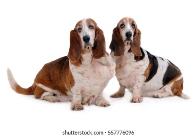 Basset Hound Dogs look forward, Isolated on white background.