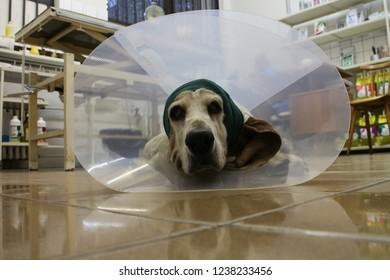 Basset hound with Elizabethan collar (othematoma)