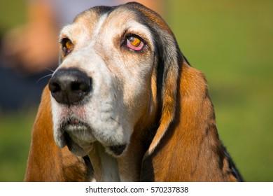Basset hound enjoying a beautiful day