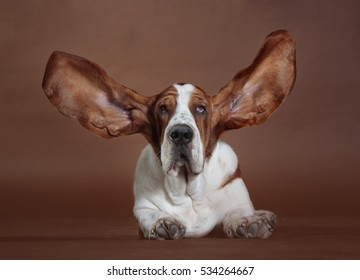 basset hound with flying ears in studio