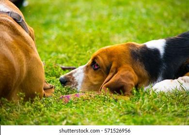 Basset hound gathering