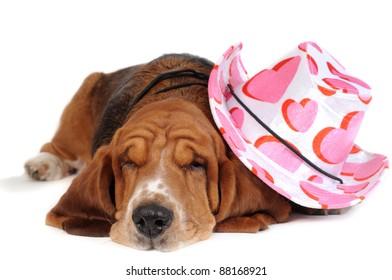Basset hound with hat