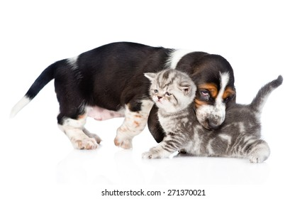 Basset hound puppy biting kitten. isolated on white background