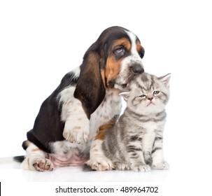 Basset hound puppy kissing tiny kitten. isolated on white background