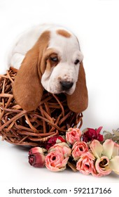 Basset hound puppy lying on a wicker ball around a bouquet of roses