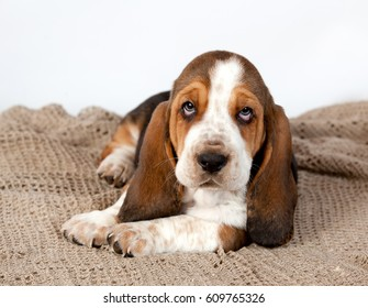 Basset hound puppy  lying on a rug handmade on white background