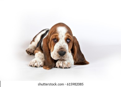 Basset hound puppy lying on a white background