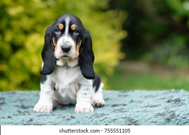 Basset Hound puppy with sad eyes and lots of wrinkles