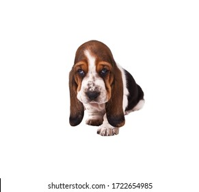 Basset hound puppy sits on white background. Isolated on white