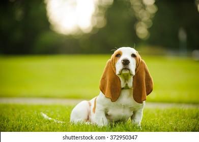 Basset Hound puppy sitting in park