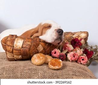 Basset hound puppy  sleeps on a pillow