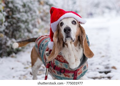 Basset hound in Santa hat and sweater in the snow