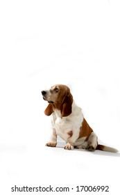 basset hound sitting against high key background and looking off to the side