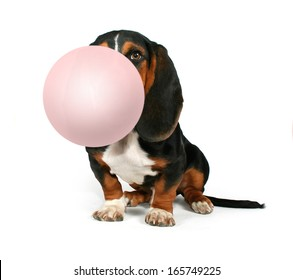 a basset hound sitting down on a white background blowing a bubble with gum