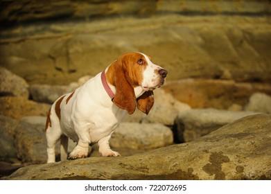 Basset Hound standing against natural bluffs