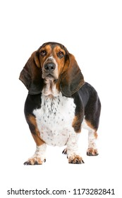basset hound standing in front of a white background
