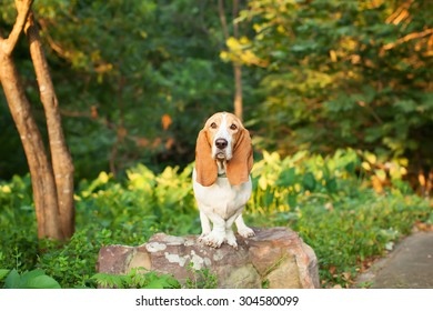 Basset Hound Standing on a Rock in Greenery and Woods with Ears Down
