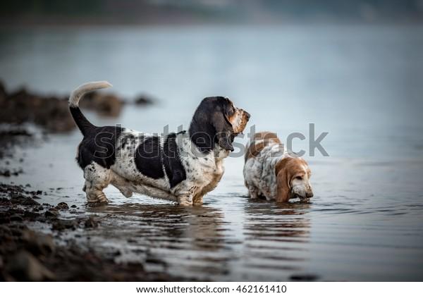 Basset hound in water
