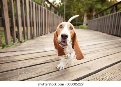Basset Hound Wide Angle Walking Across Bridge