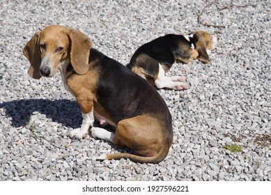 Basset Hounds: a mother keeps a look out as her pup sleeps in the background