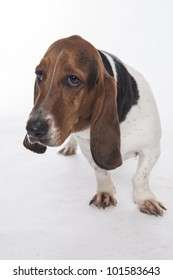 Bassett Hound on white background