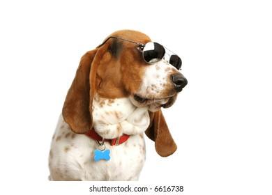 Bassett hound with sunglasses on white backdrop.