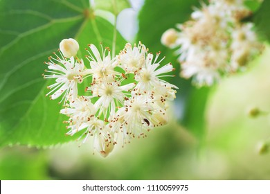 Basswood flowers on tree with foliage. Linden blooming flowers on lime-tree. Blossoming teil with detail on flowers. Flowering lime. Whitewood tree with florid flowers. Blossoming American basswood.