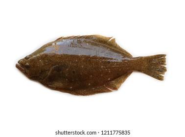 Bastard halibut (Paralichthys olivaceus)