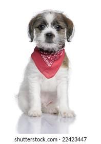 Bastard puppy (3 months) in front of a white background