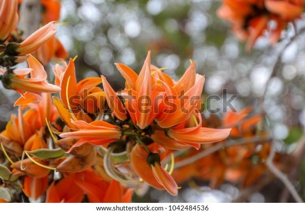Bastard Teak,Butea monosperma (Lam.) Taub,There are many orange flowers in the North and Northeast of Thailand.