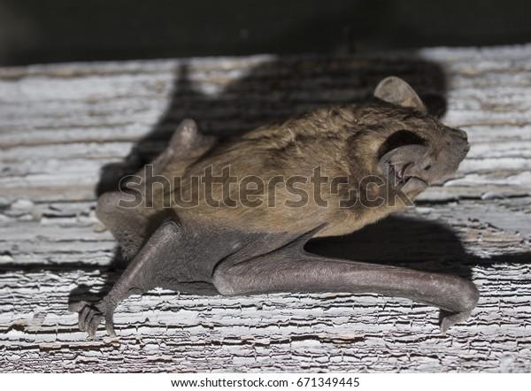 Bat Animal Crawling On Wooden Board Stock Photo Edit Now 671349445