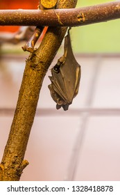 The bat animal (latin name microchiroptera) is hanging on the wood branch. Midnight creature with echolocation ability and vampire image.