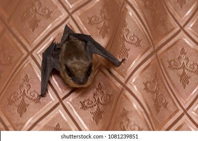 Bat in an apartment on a curtain