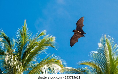Bat flies to hunt during the day, against a background of palm trees and blue sky, Maldives, Asia