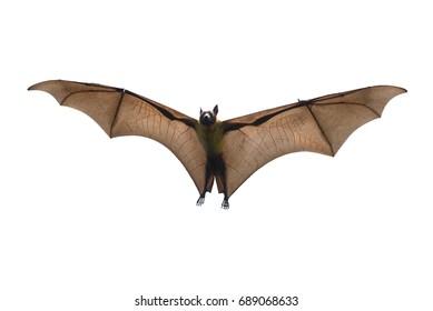 Bat flying isolated on white background ( Lyle's flying fox, Pteropus lylei)