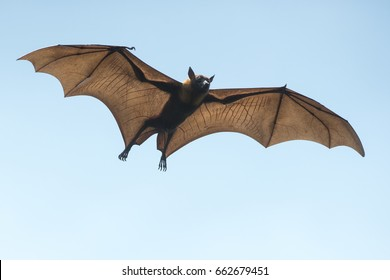 Bat flying on blue sky