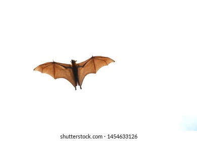 "Bat flying on white background.""Lyle's flying fox"""