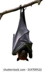 Bat, Hanging Lyle's flying fox isolated on white background, Pteropus lylei