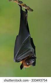 Bat, Hanging Lyle's flying fox hang on branch, Pteropus lylei
