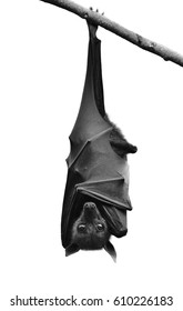Bat, Hanging Lyle's flying fox isolated on white background present on black and white color, Pteropus lylei