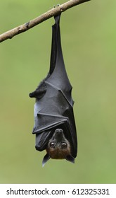 Bat, Hanging Lyle's flying fox with blur green background, Pteropus lylei