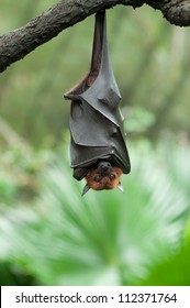 Bat hanging on a tree branch Malayan bat - Also known as large flying fox