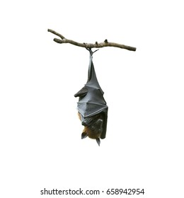 Bat hanging on a tree branch, Lyle's flying fox isolated on white background