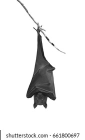 Bat hanging upside down in the tree branch, isolated on white background